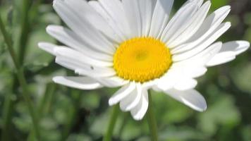 bee on the white daisy video