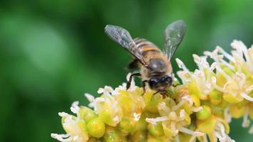 macro de abejas en la naturaleza verde video