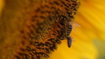 Blumenkopf der Sonnenblume mit Bienen an einem sonnigen Tag