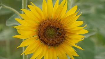 A bee collects nectar from sunflowers