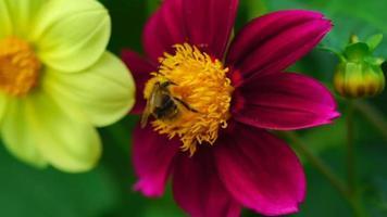 abelha em flor dália