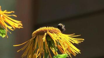 calabrone sul fiore