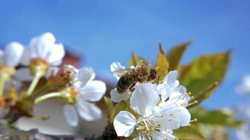 HD Slow-Mo: Hardworking Bee on Cherry Bloom video