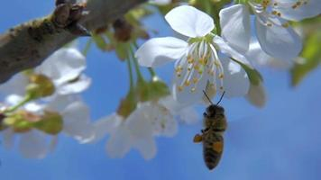 HD Slow-Mo: Working Bee Land on Cherry Bloom video