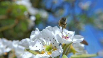 HD Slow-Mo: Flying Bee Approach to the White Flower video
