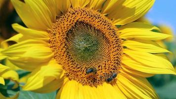 Honey bees On A Sunflower video