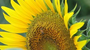 girassol e abelha