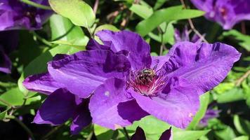 Miel de abeja en clemátide floreciente violeta