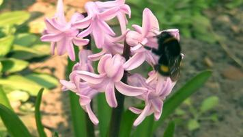 Bumblebee on hyacinth. video