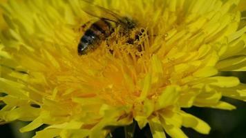 abelha colhendo pólen em uma flor de dente de leão
