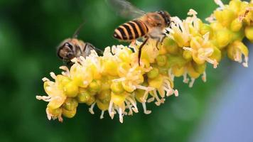 Bee macro in collecting nectar from a pollen betel palm