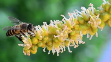 abelha sugando o néctar, usando a língua video