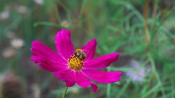 abelha na flor do cosmos video