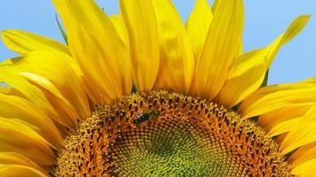 abelha em um girassol video