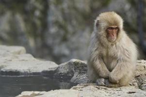 Mono de nieve japonés en una fuente termal en Japón foto