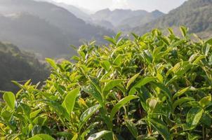 Green Tea Plantation Fields in highland