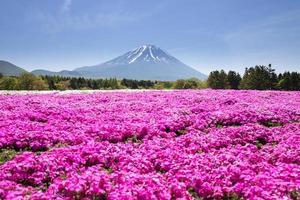 festival de shibazakura de japón con el campo de musgo rosa foto