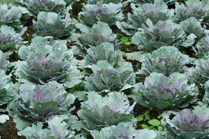 fondo vegetal de repollo de larga vida