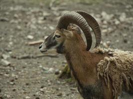 Horned billy goat