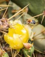 abeja amegilla volando