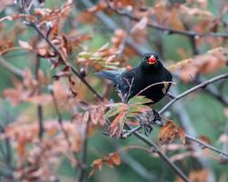 Adult male blackbird perched