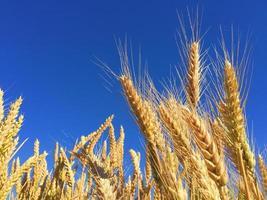 fotografía de trigo marrón