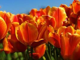 flores de tulipán naranja