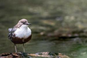 Brown and white bird on water photo
