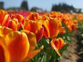 Orange tulip bed