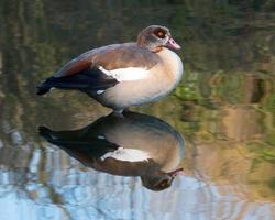 Wild Egyptian Goose