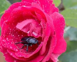 escarabajo en una rosa
