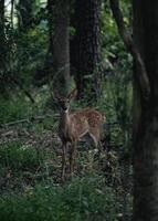 Deer in dark forest photo