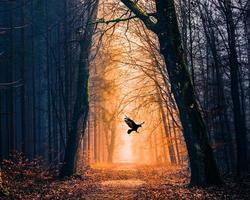 Raven flying in moody forest