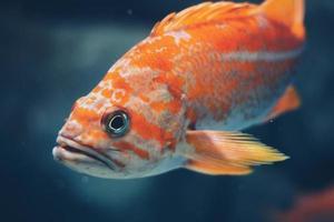 primer plano, de, pez naranja