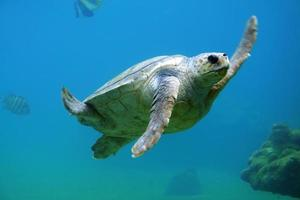 Sea turtle under water photo