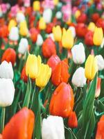Colorful tulips in bloom photo