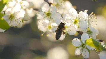 flor branca da primavera e abelha em câmera lenta