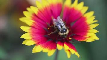 Bumblebee on a flower gailardia