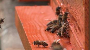 sciame di api mellifere indaffarate che entrano negli alveari