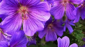 ape sul fiore video