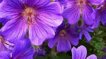 abelha na flor video