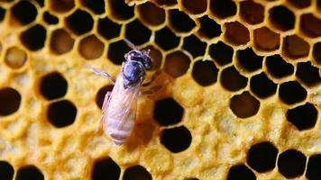 abeilles sur nid d'abeille video