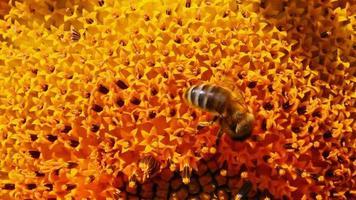 polinização de abelhas em macro de girassol