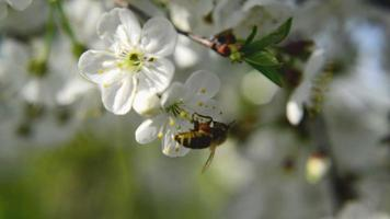 Honey Bee collecting pollen from pear blossoming flowers. Spring season.