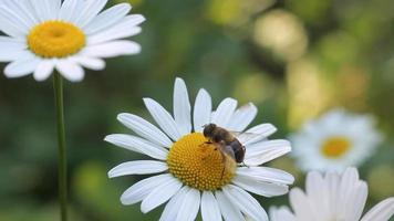 Bee on the white daisy flower video