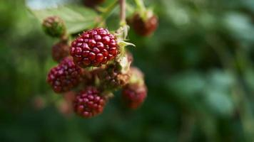 Blackberry bush, natural ecological cultivation.