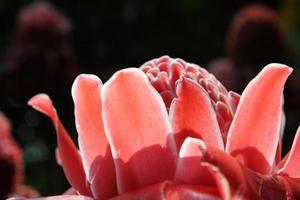 Etlingera elatior red favorite flower.