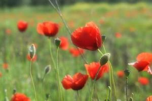 Red flower meadow during daytime