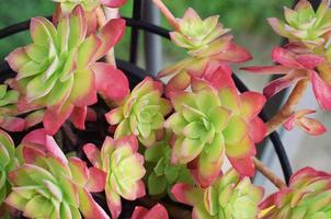 Pink and green succulents in close up photography