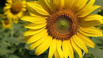 Close up di girasole con ape